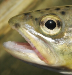 picture of trout head